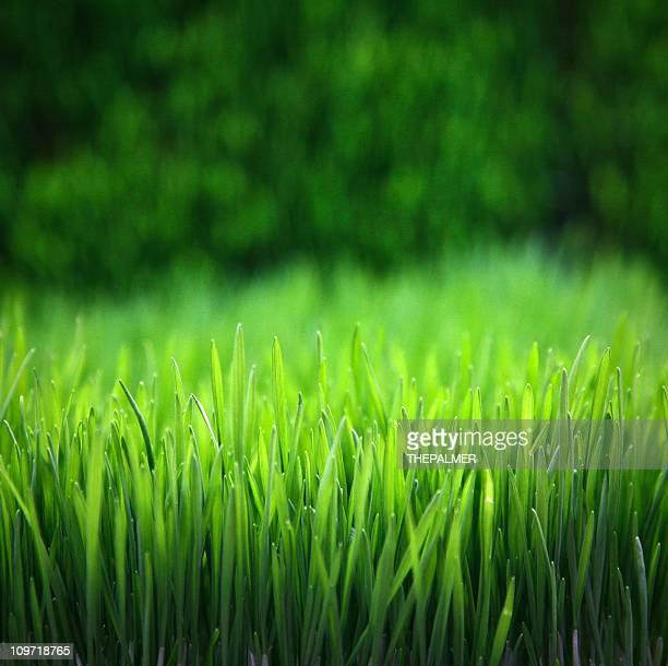 grano - filo d'erba foto e immagini stock