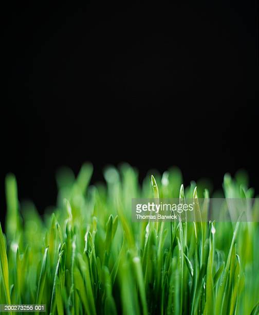 wheatgrass (close-up) - wheatgrass stock photos and pictures