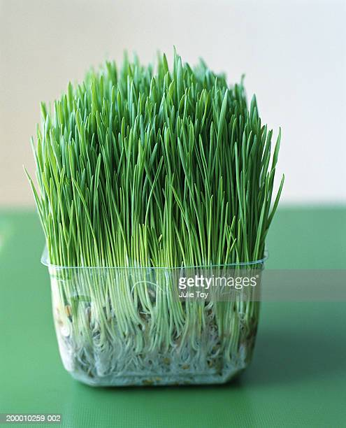 Wheatgrass plant growing in clear plastic container