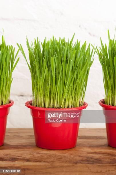 Wheatgrass plant vases on shelf
