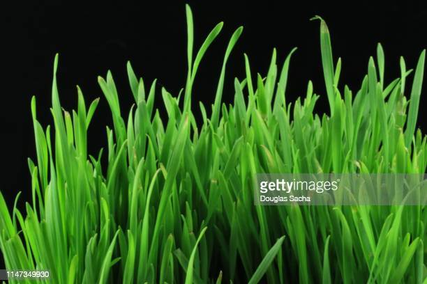 Wheatgrass superfood on a black background