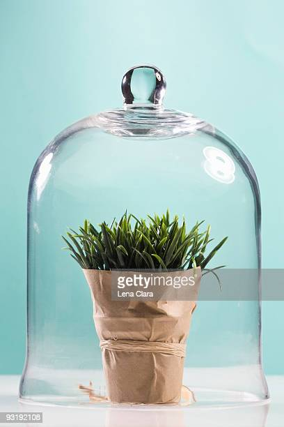 Wheatgrass wrapped in butcher paper under a bell jar