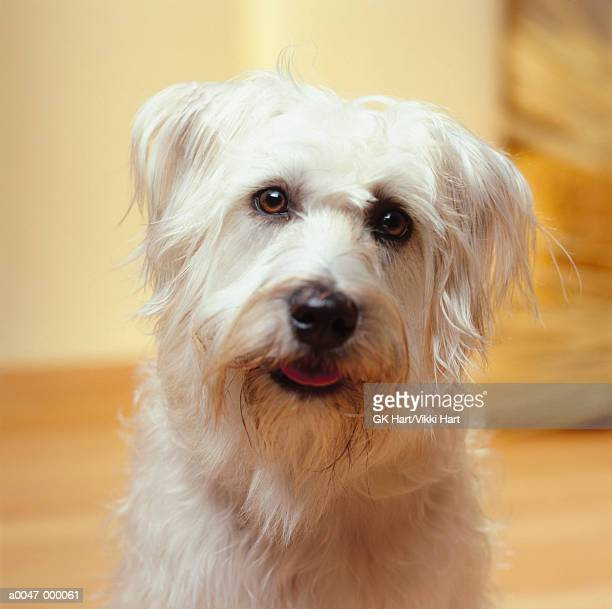 wheaton terrier - soft coated wheaten terrier stock photos and pictures