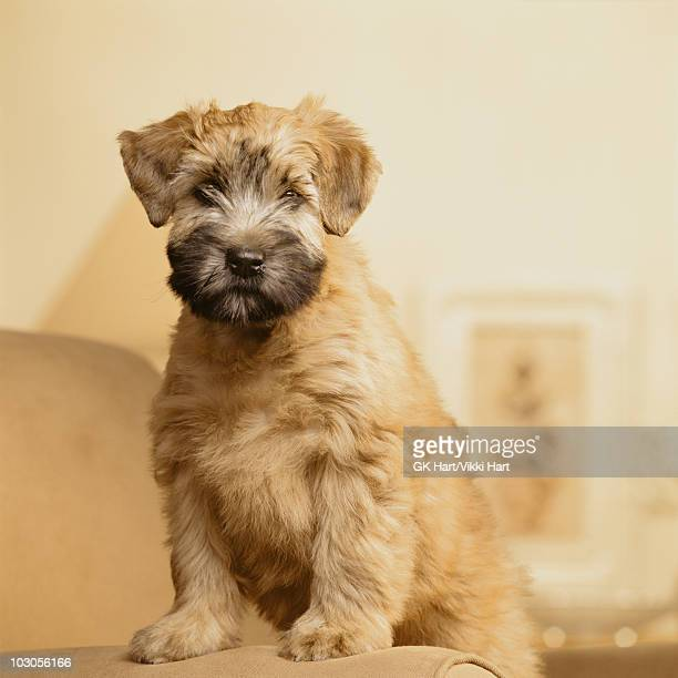 wheaton terrier puppy on chair - soft coated wheaten terrier stock photos and pictures