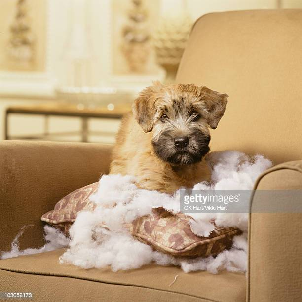 wheaton terrier puppy with torn pillow sitting in  - naughty america - fotografias e filmes do acervo