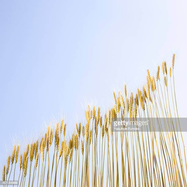 Wheats.