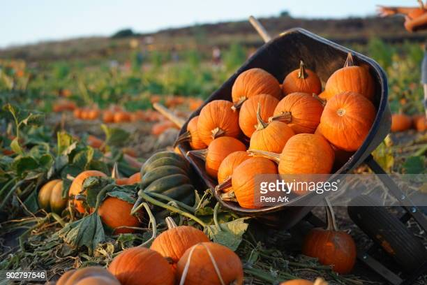 wheelbarrow full of pumpkins - irvine california stock pictures, royalty-free photos & images