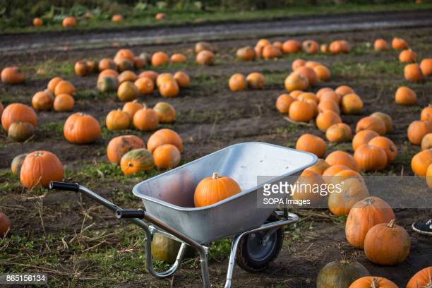 A wheelbarrow seen inside the farm people use them to carry pumpkins outside Pumpkin market is one of the exiting things locals can experience every...
