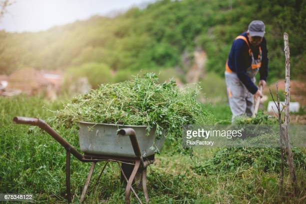 Wheelbarrows full of grass