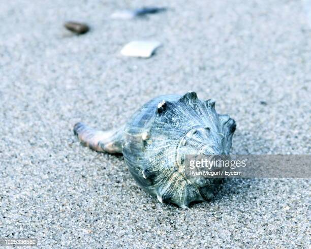 whelk seashell on a sandy beach - invertebrate stock pictures, royalty-free photos & images