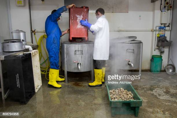 Whelks are emptied into a large boiling pot Folkestone Trawlers process manage and market all fresh fish that is landed into Folkestone Harbour by...
