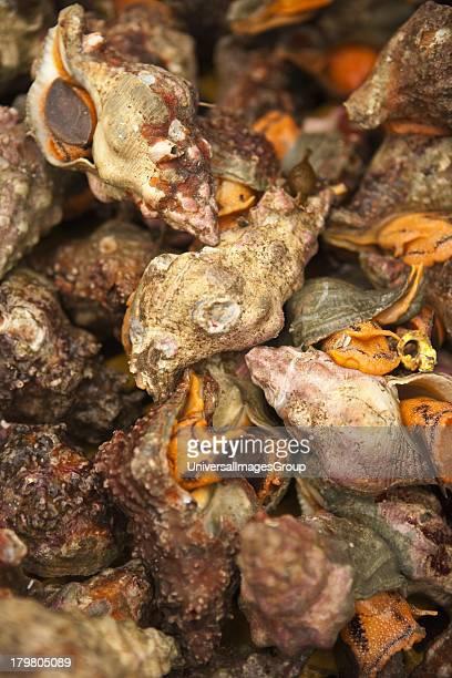 Whelks for sale at the Harbor and Seafood Festival Santa Barbara California