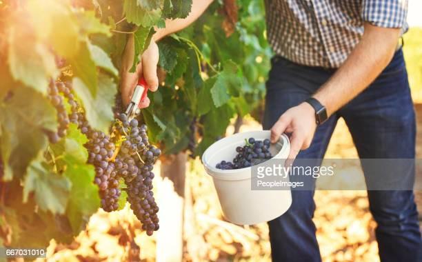 Wanneer het leven geeft u druiven, wijn maken