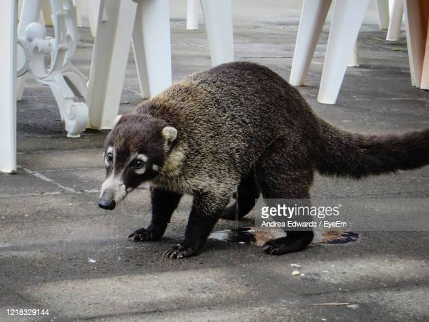 when nature calls, wild coati - guanacaste stock pictures, royalty-free photos & images