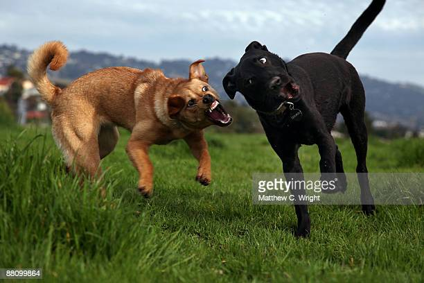 when small dogs attack - dog fight stock pictures, royalty-free photos & images