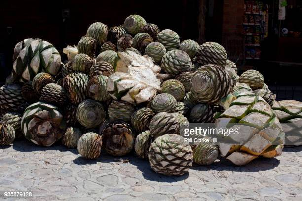 When the agave cactus is harvested it is cut into 'pineapples' before being crushed for fermentation Oaxaca in southern Mexico is known for being the...