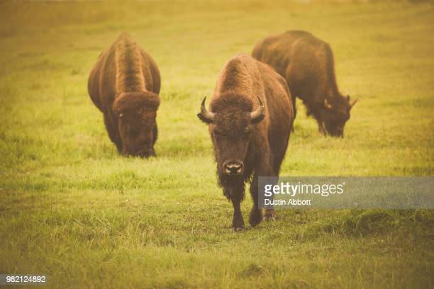 where the buffalo roam - dustin abbott stock pictures, royalty-free photos & images