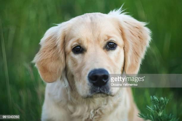 where's my toy? - golden retriever stockfoto's en -beelden