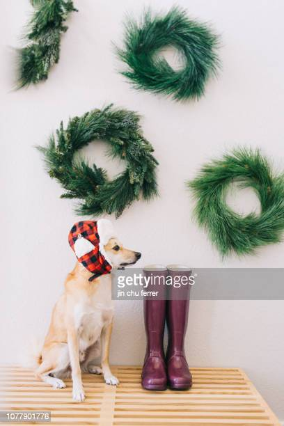 where's santa? - shiba inu winter stock pictures, royalty-free photos & images