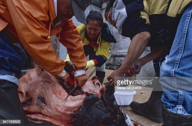 Whether for fresh meat, or, as is the case here, matured seal meat, the rules for sharing game still apply in Eastern Greenland. Meat from...
