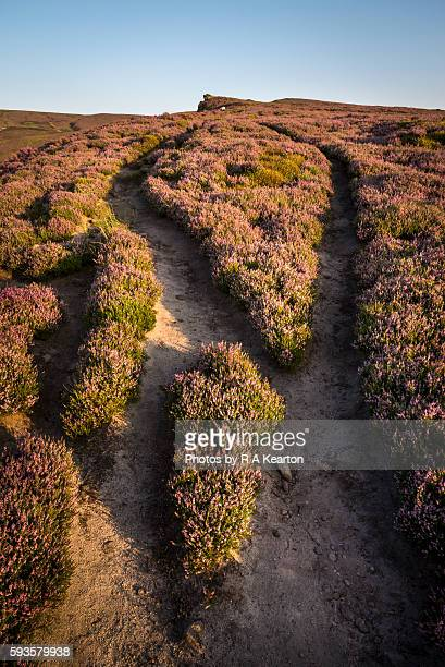 Which way now? A moorland footpath through blooming heather splits in two.