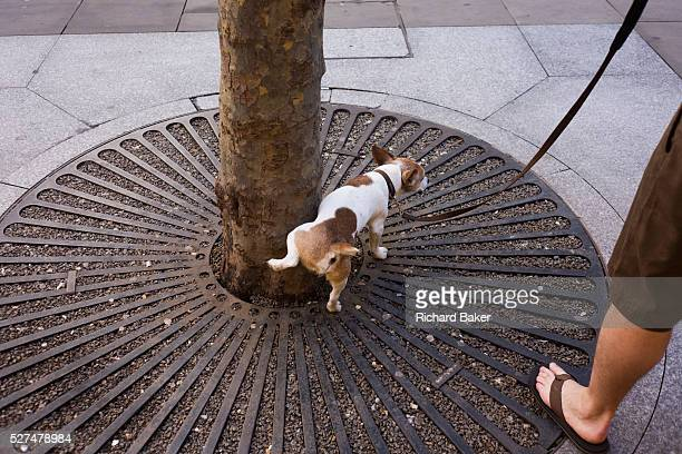 While held on a leash by its owner a pet dog pees against the base of a city tree in central London With leg cocked and pausing to relieve itself the...