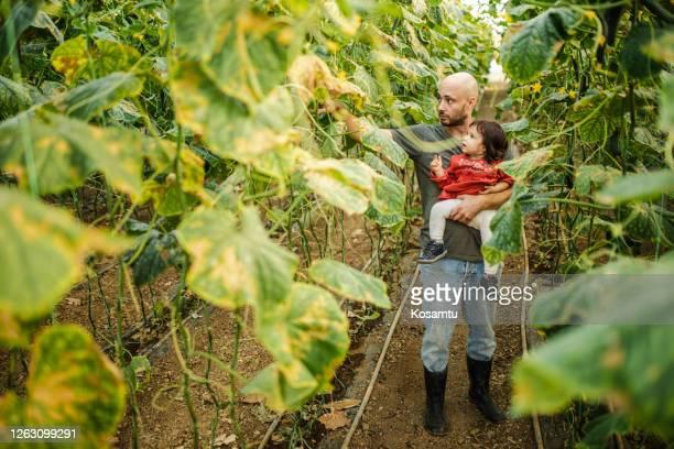 terwijl de tijd doorbrengen met zijn dochter mid volwassen boer observeren komkommer korpsen in zijn kas - sober leven stockfoto's en -beelden