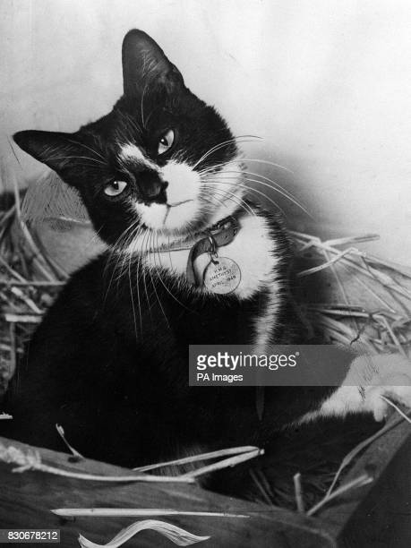 While the men of the Yangtse Incident have been receiving a heros' welcome home Simon the ships cat of HMS Amethyst and winner of the Dickin Medal...
