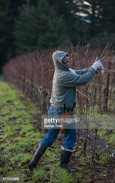 While the vineyards are still dormant a field worker prunes back the vines on February 10 near Healdsburg California Much of Southern California has...