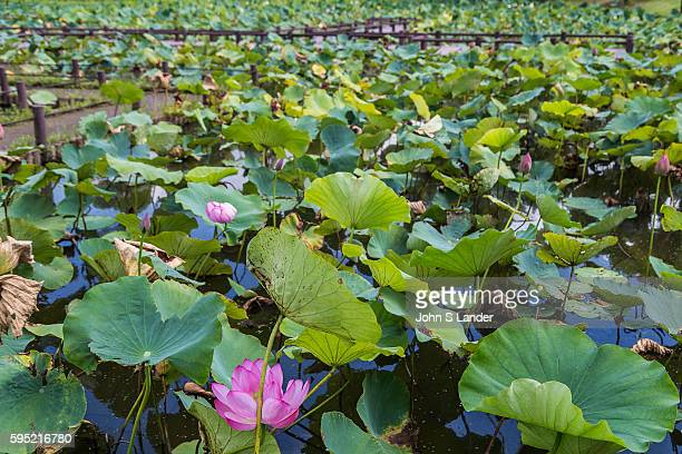 While working on a nearby building construction workers found lotus seeds and planted them in a garden in Gyoda Saitama but the petals on the flowers...