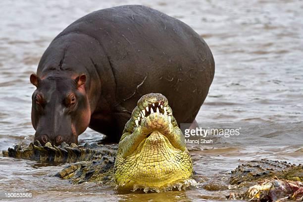 Whilst the crocodiles were feeding on Zebra, an in