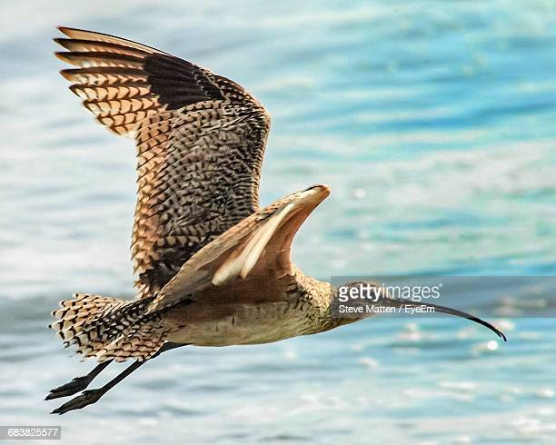 whimbrel bird flying over sea - steve matten stock pictures, royalty-free photos & images