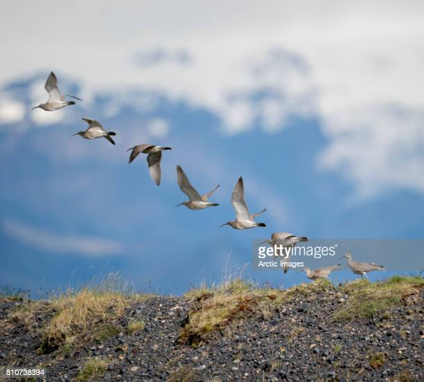 whimbrel birds taking off, iceland - wader bird stock photos and pictures