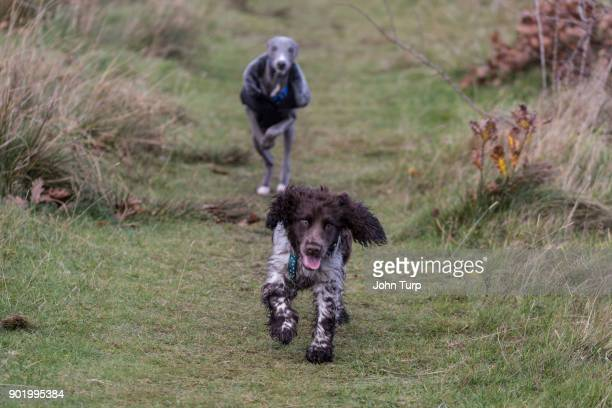 Whippet chasing a spaniel dog