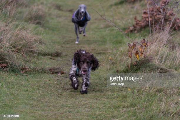 whippet chasing cockapoo spaniel towards camera