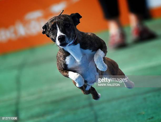 Whippet dog 'Savina' leaps from the dock during the Dock Dogs West Coast Challenge in Bakersfield California on February 26 2016 The current world...