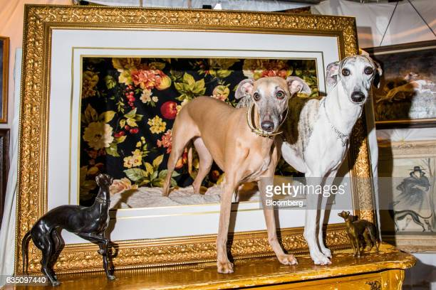 Whippet dogs stand for a photograph during the annual Meet the Breed event ahead of the 141st Westminster Kennel Club Dog Show in New York US on...