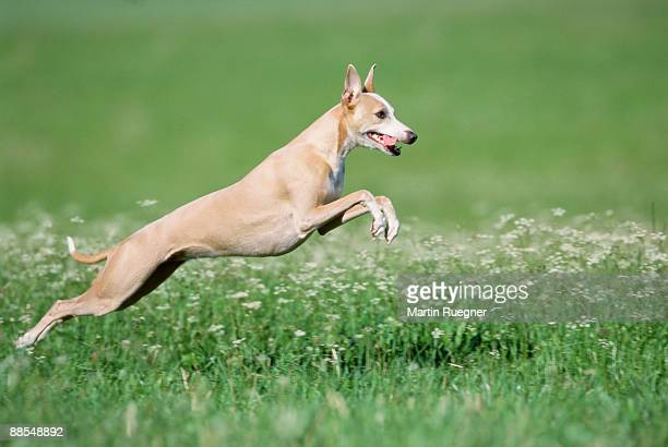 whippet jumping - whippet stock pictures, royalty-free photos & images