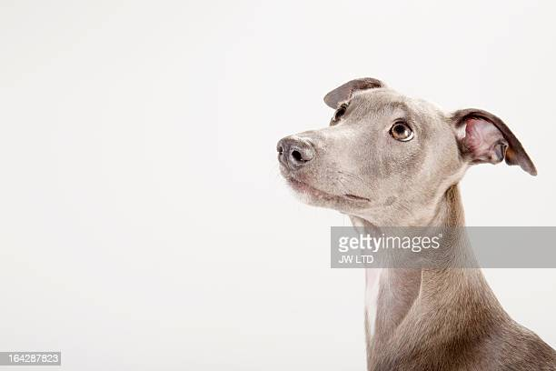 whippet looking up in profile
