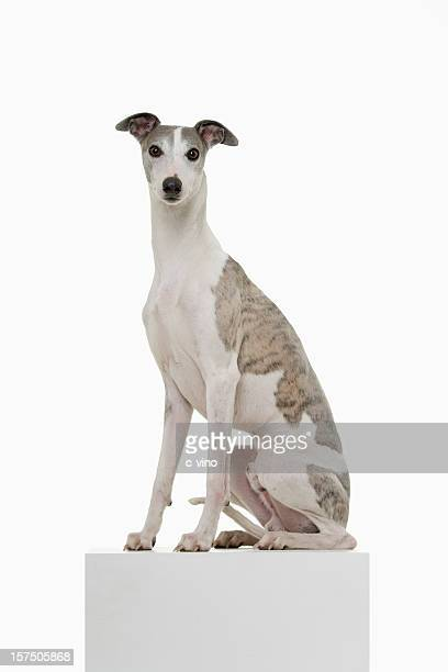 Whippet on a Podium