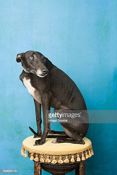 Whippet on a stool