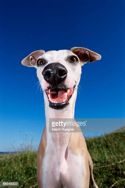 whippet , portrait , canis lupus familiaris - whippet stock pictures, royalty-free photos & images