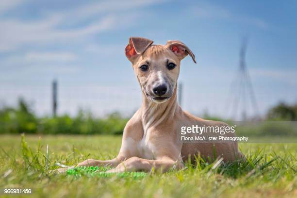 whippet puppy in garden - whippet stock pictures, royalty-free photos & images