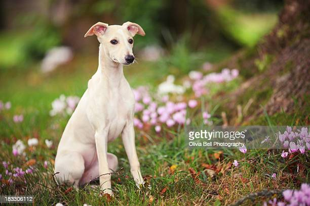 whippet puppy in woodland - whippet stock pictures, royalty-free photos & images