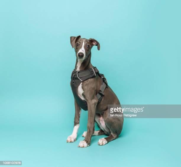 whippet puppy on blue background - un animal fotografías e imágenes de stock