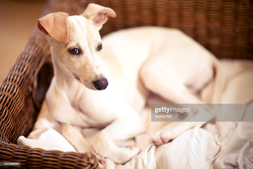 Whippet Puppy : Stock Photo
