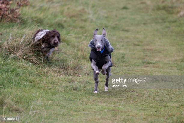 whippet racing past cockapoo spaniel towards