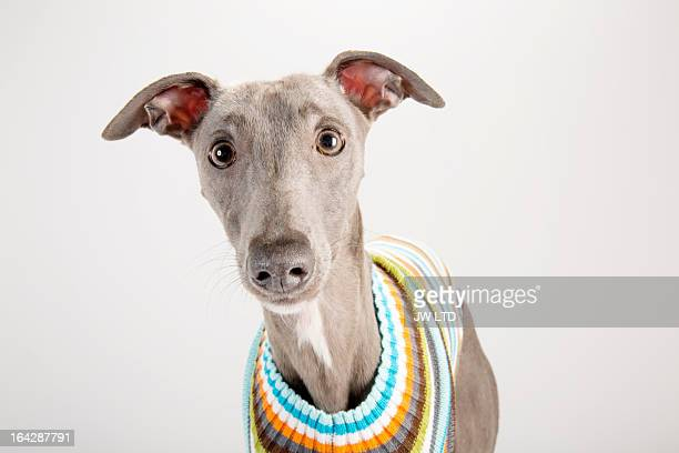 whippet wearing a striped jumper - whippet stock pictures, royalty-free photos & images