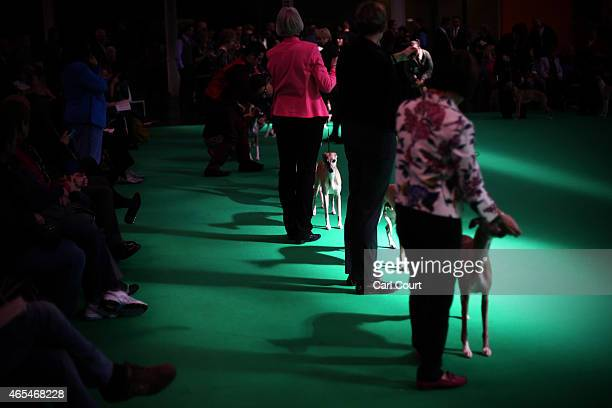 Whippets are shown for competition on the third day of the Crufts dog show at the National Exhibition Centre on March 7 2015 in Birmingham England...