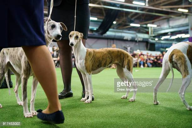 westminster kennel club dog show 画像と写真 getty images